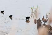 Famille de râles d'eau