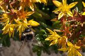 Abeille sur sédum floriferum